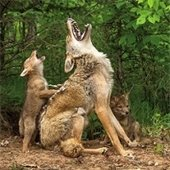 howling coyote cub and mom