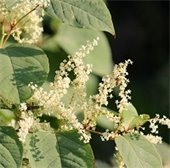 knotweed with blooms