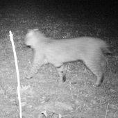 trail camera image of a bobcat