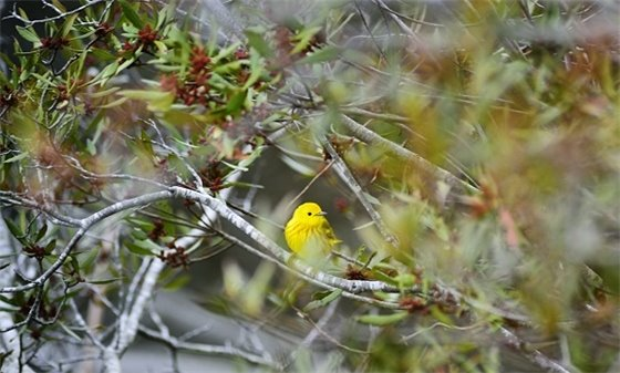 yellow bird in bayberry shrub