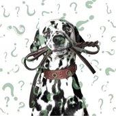 dalmatian holding a leash