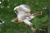 Weston is home to many Red-tailed hawks
