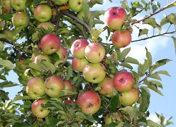 Weston apples