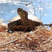 painted turtle on bank of pond
