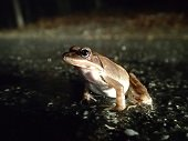 spring peeper in the wet road