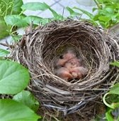 bird nest with hatchlings