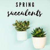 2 succulents in white pots