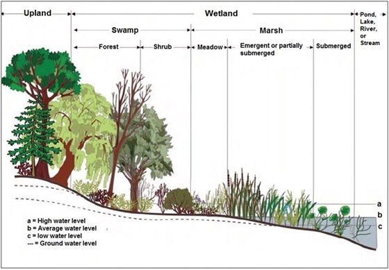 illustrated definition of wetlands