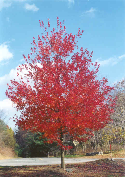 Single Tree with Red Leaves