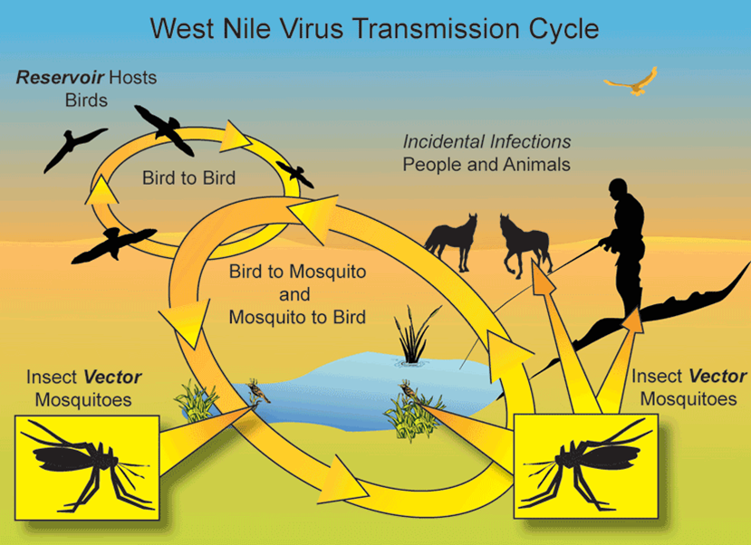 A diagram of the West Nile Virus transmission cycle